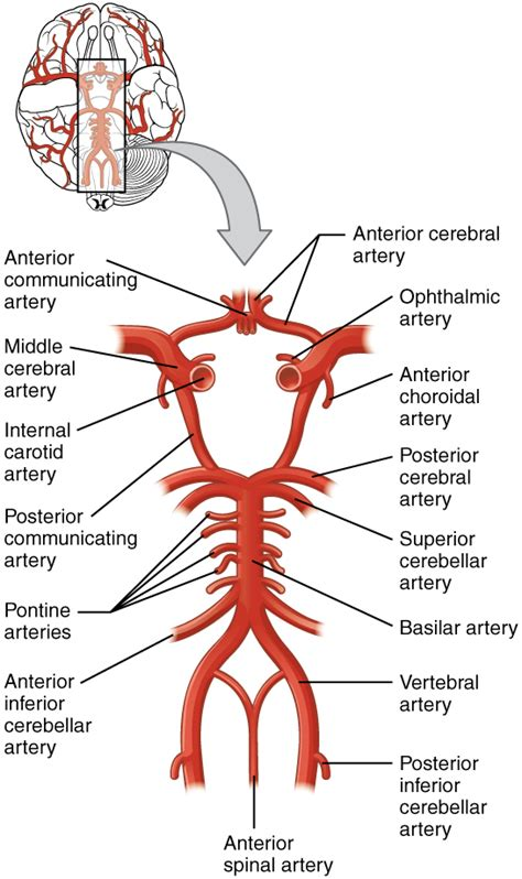 blood flow through the brain diagram 13 3 circulation and the central nervous system anatomy