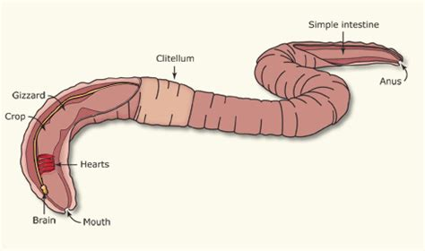 earthworm dissection hearts decomposer program the naturalist