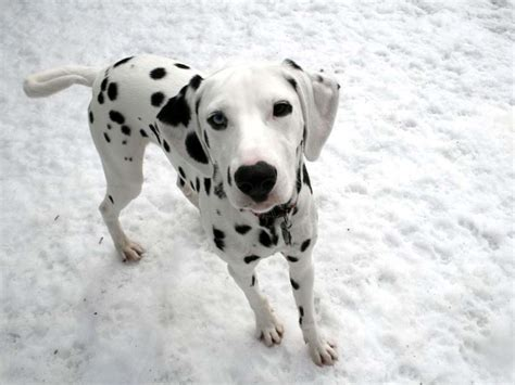 are dalmations dogs dalmatian pictures pics images and photos for inspiration