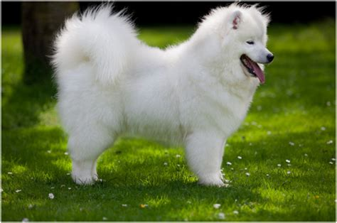 samoyed puppies price samoyed pictures rescue puppies breeders temperament price animals breeds