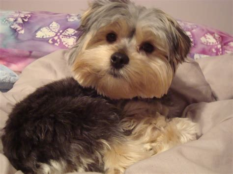 morkie dog haircuts 21 best images about morkie cuts grooming on pinterest