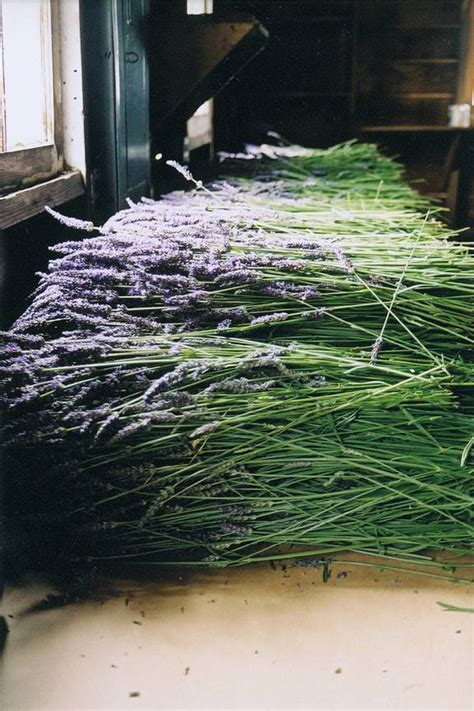 lavender harvest style story french country