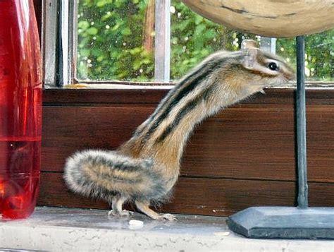 gabbie per scoiattoli giapponesi zemn 237 veverky burunduci p 225 skovan 237 osobn茆 dovezu opava