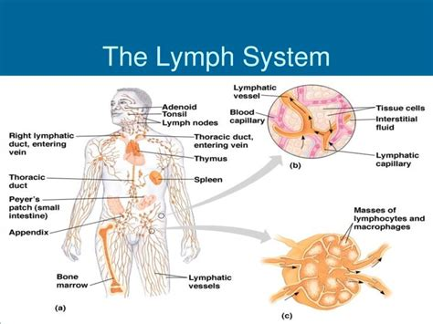 What Is A Lymp Node Detox Machine by Great Way To Learn About The Lymph System Lymphatic