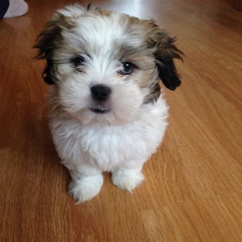 malshi puppies for sale malshi puppy for sale east pets4homes