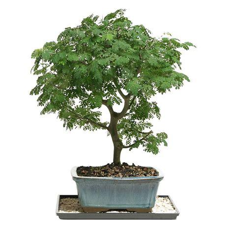 best grow light for bonsai brussel s bonsai brazilian rain tree bonsai dt 4022brt
