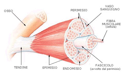eiaculazione interna patologie muscolari e tendinee movimento benessere