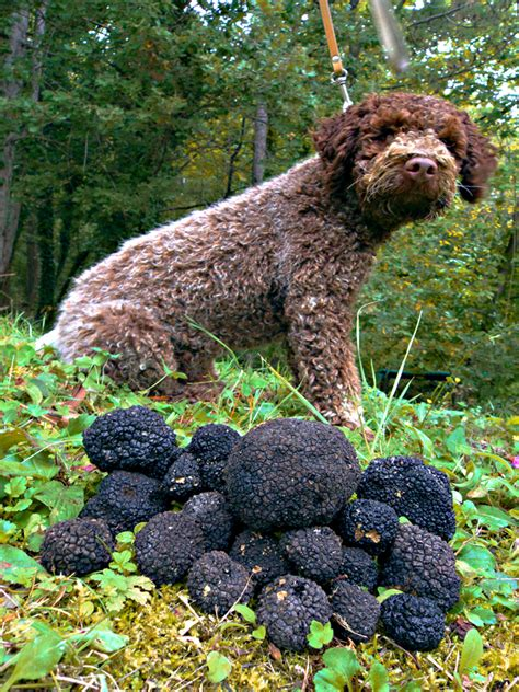 truffle dogs a walking tour in istria leads to hilltop towns truffles wilderness travel photo