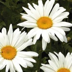 pratolina fiore risotto con pratoline