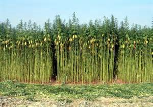 il fucino punta sulla coltivazione della canapa il