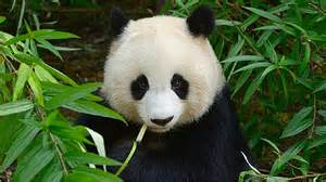 15 peculiar panda facts for kids to know