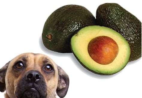 are avocados bad for dogs avocado toxicity in dogs fact or fiction simply for dogs