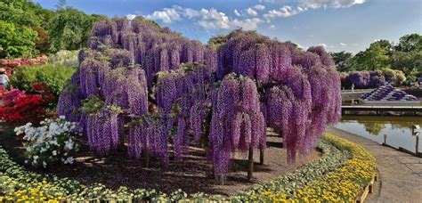 wisteria  ashikaga flower park  aprilmay   tochigi japan travel