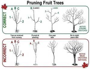 how to correctly prune a fruit tree garden pinterest