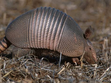 armadillo wallpapers pets cute and docile