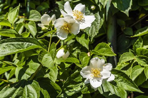 moving a mock orange bush tips on how to transplant a