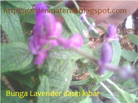 harga tanaman bunga lavender tanamanbaru