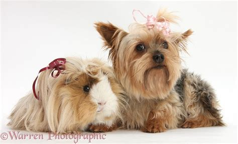 yorkie with bows in hair pets yorkie and guinea pig with bows in their hair photo wp32917