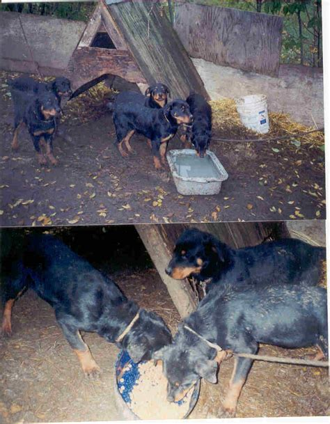 rottweiler rescue il rottweiler rescue goldendale wa photo