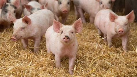 Home Improvement Trends 2017 pig market outlook promising into 2017 farmers weekly