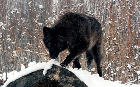 Imagenes De Negro Lobo | fotos del lobo negro im 225 genes y fotos