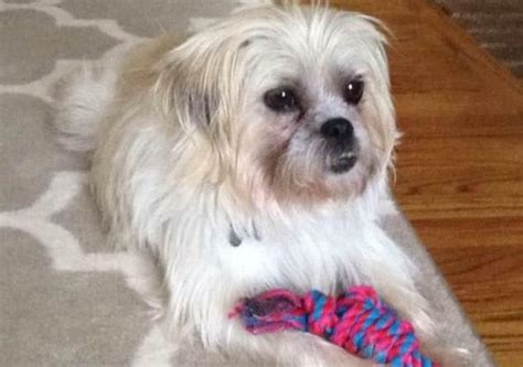 cairn shih tzu mix adoptable dogs for july 24 2015 politics caigns and elections