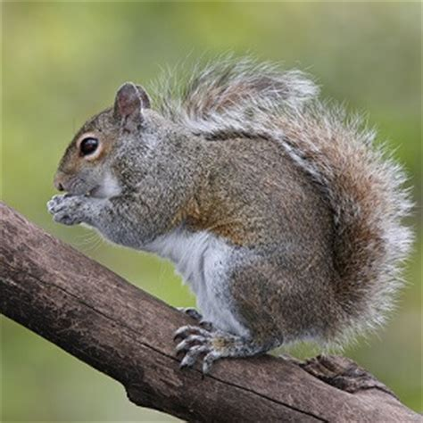 squirrel facts top 20 facts about squirrels facts net