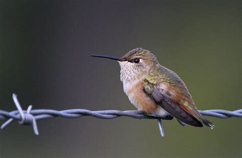 rufous hummingbird selasphorus rufus female on barbed