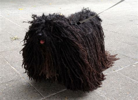 mop puppies looks like a mop breeds picture