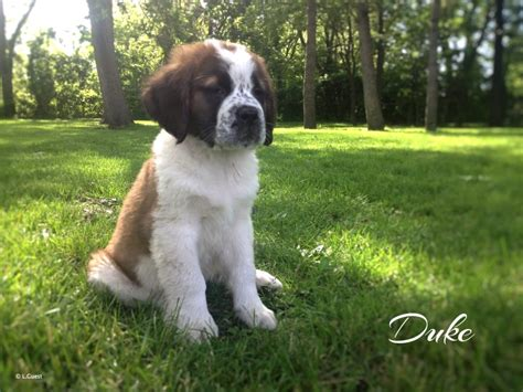 st bernard puppies for sale in michigan view ad bernard puppy for sale michigan ypsilanti usa