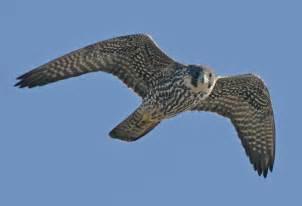 advice on bird of prey id wildlife questions wildlife