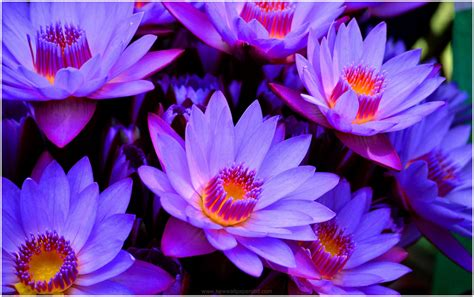 wallpaper 3d lotus blue lotus flower hd wallpaper 9hd wallpapers