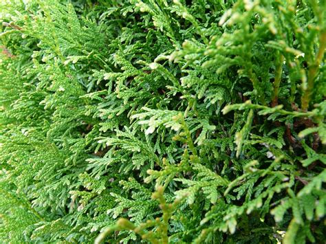 Thuja Brabant Pflanzen 190 by Free Photo Thuya Hedge Tree Of Thuja Free Image