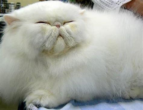 i gatti persiani gatto persiano carattere pelo lungo il carattere