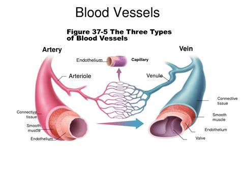 diagram of a capillary artery vein and capillary diagram www pixshark