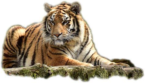 Gambar Harimau Format Png | foto gratis bengaltiger harimau kucing besar gambar