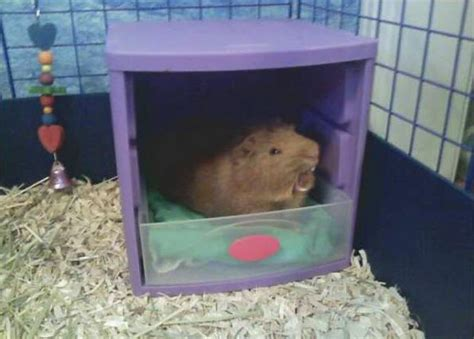 can you house train a pig can you house a pig 28 images 2 storey corner play tunnel shelter for guinea pig