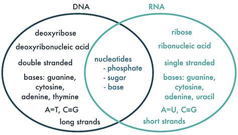 venn diagram comparing dna and rna dna rna venn diagram elektronik us