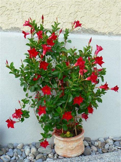 sundaville fiore dipladenia sundaville