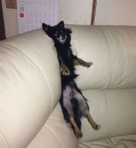 dog in couch pets vs furniture 30 pics weknowmemes