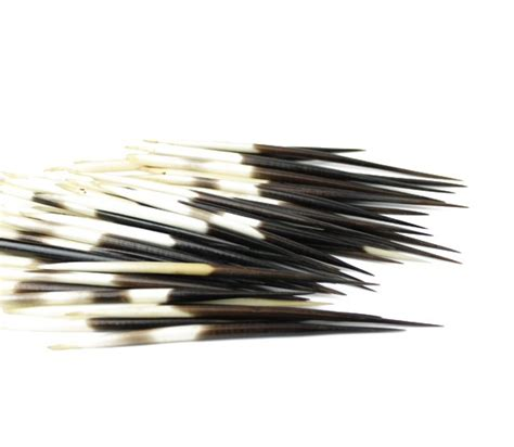 porcupine quills in porcupine quills from geo evolution