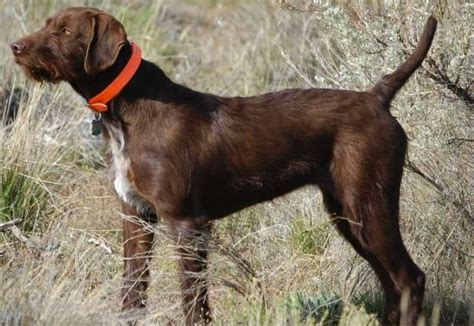 Do Pointers Shed by Do Pudelpointers Shed Breeds Picture