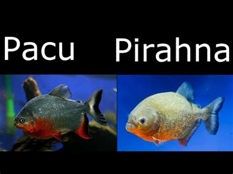the difference between piranha and pacu review