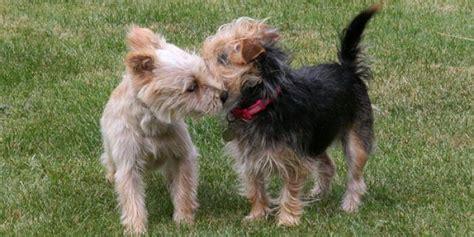 perros apareamiento el apareamiento de perros importancia y recomendaciones