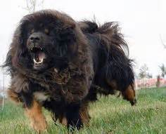 Caucasian mountain dog this is a caucasian ovcharka a russian dog