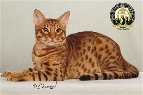 Breed Profile: The Ocicat