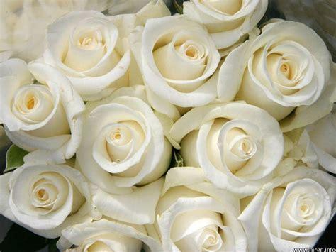 White Roses by White Roses