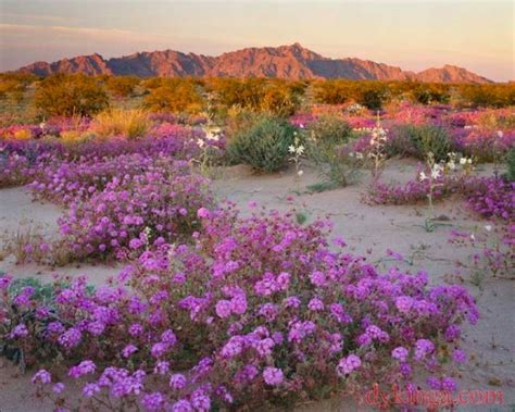 california desert flowers california desert flowers southwestdesertlover