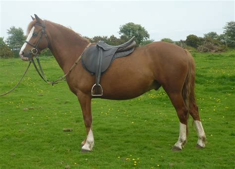 welsh section c temperament ponies for sale 171 tyrcanol welsh mountain ponies