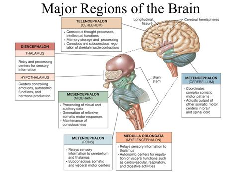 major sections of the brain the nervous system ppt video online download